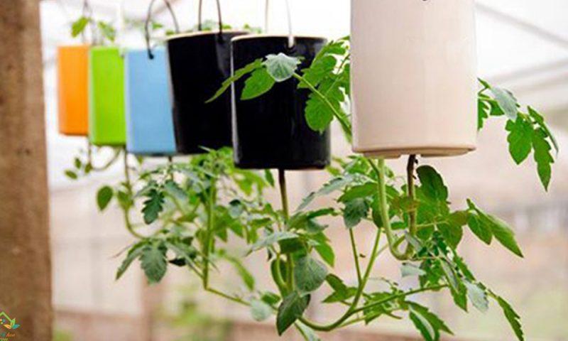 Cách trồng cà chua ngược sáng tạo, sinh động, lạ mắt