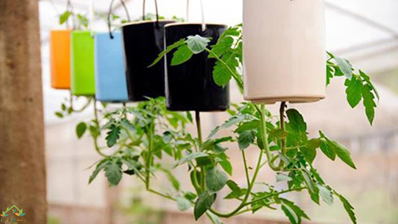cà chua trồng ngược