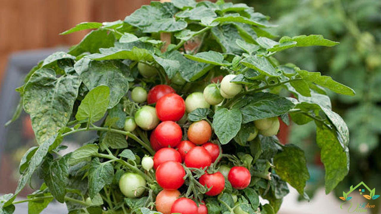 cà chua bi lùn đỏ