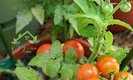 Video Hướng dẫn trồng và chăm sóc Cà chua bi