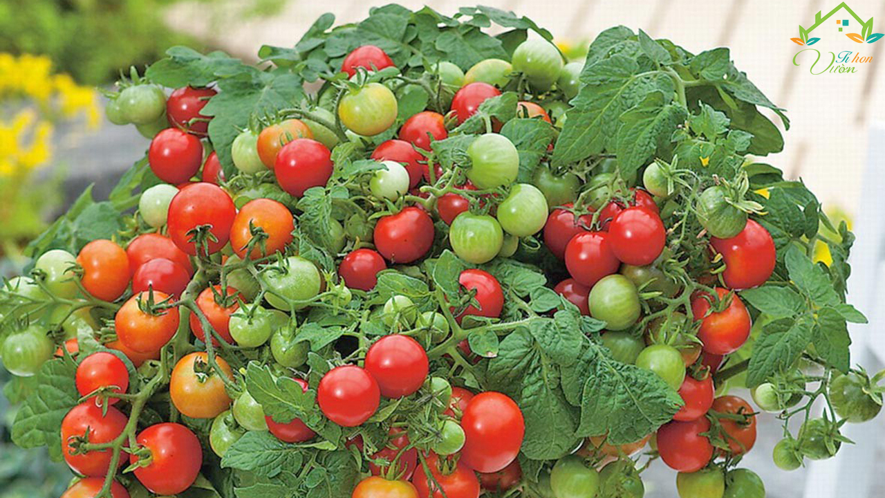 cà chua bi đỏ