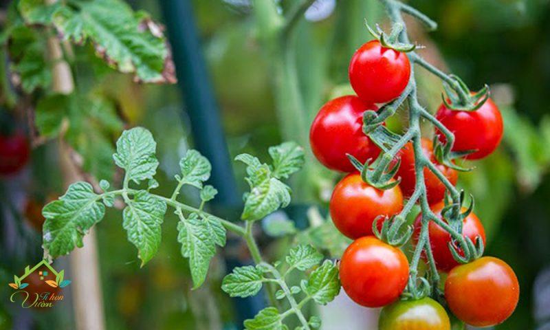 Trồng cà chua bi lùn đỏ sai trái cực kỳ đơn giản