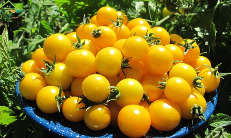 Cách trồng và chăm sóc cà chua cherry vàng