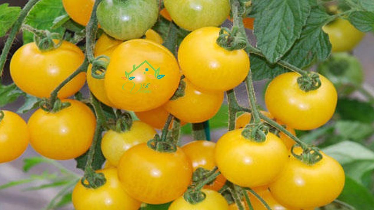Cà chua cherry vàng