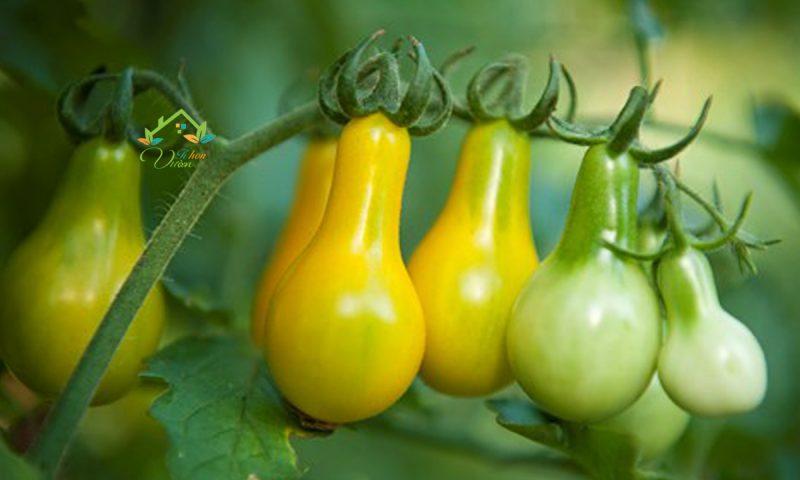 TOP 5 loại giống rau, củ tí hon được yêu thích nhất năm.