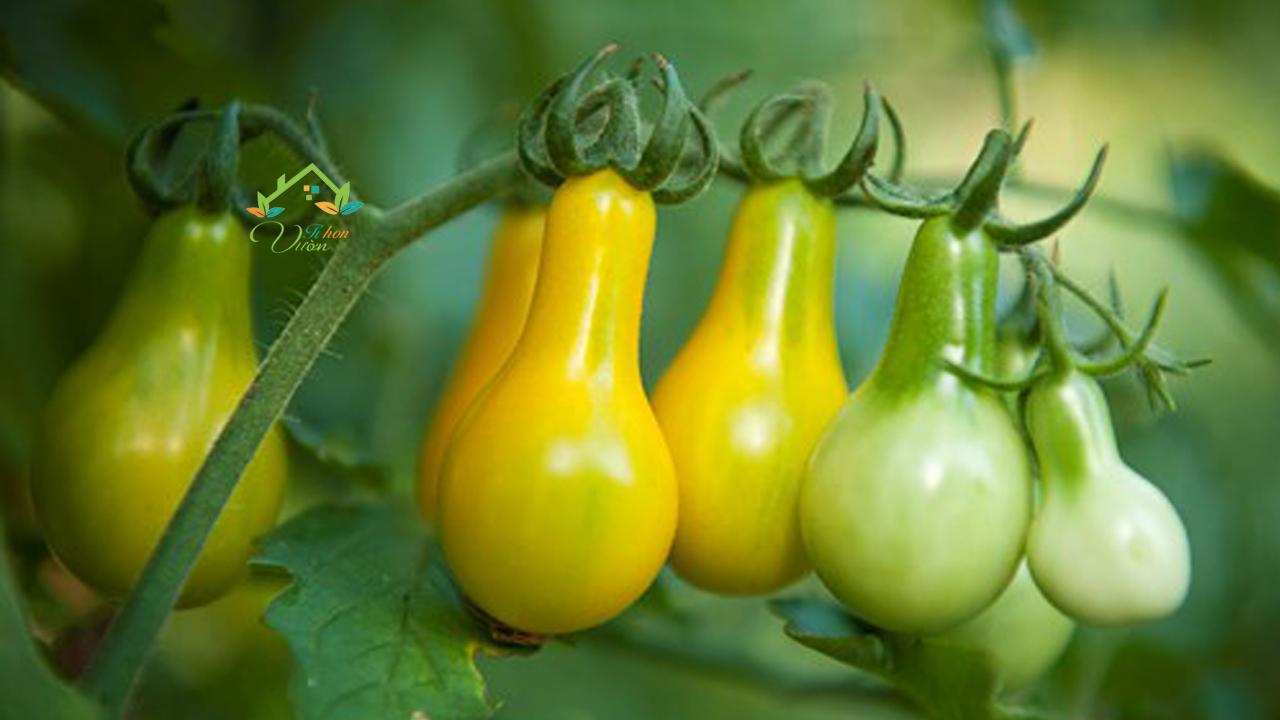Cà chua dưa lê