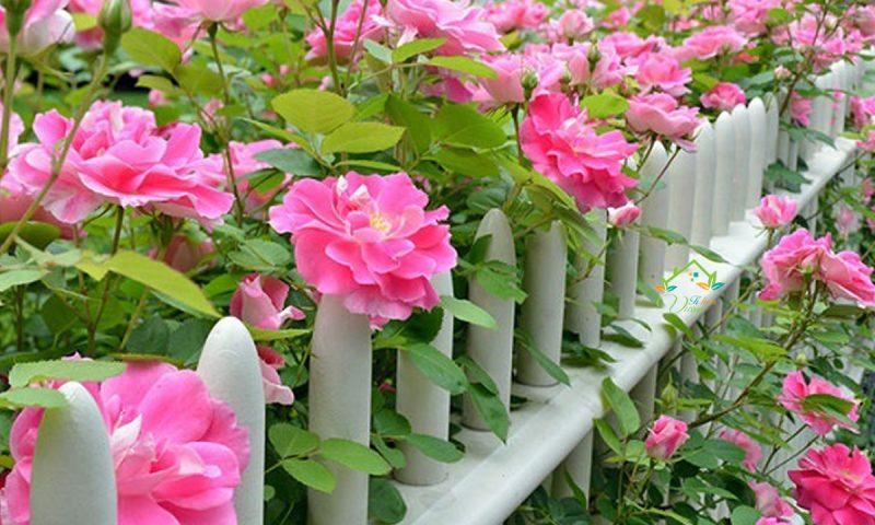 Kỹ thuật trồng và chăm sóc hoa hồng leo nhanh ra bông