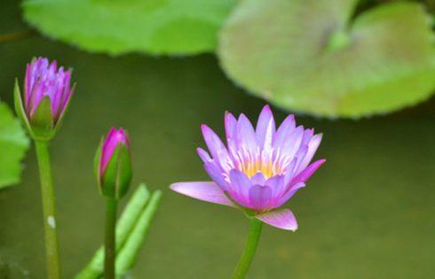 Hoa súng loài hoa mang nhiều ý nghĩa trong đời sống.