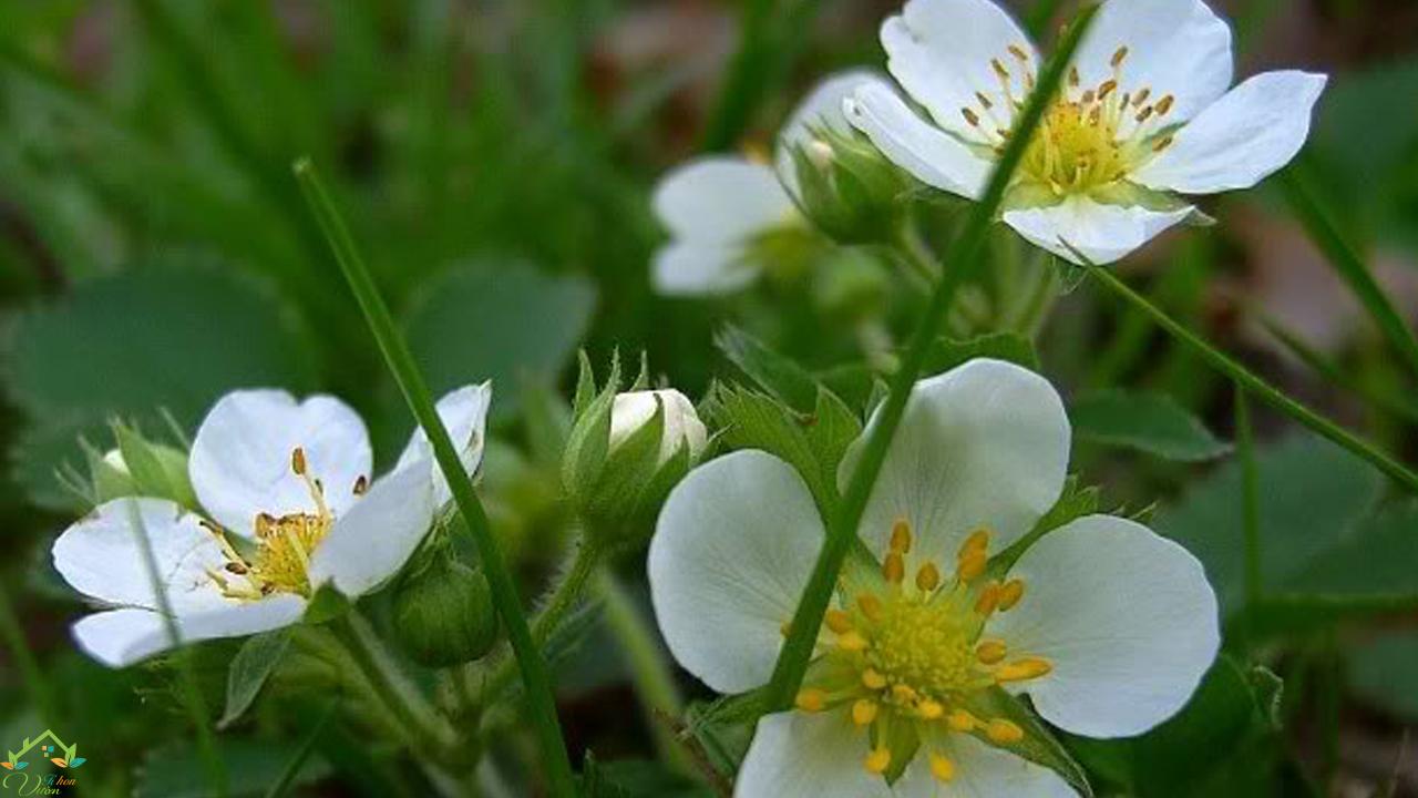 hoa dâu tây