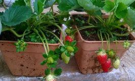 Hướng dẫn chi tiết cách trồng và chăm sóc dâu tây trong nhà