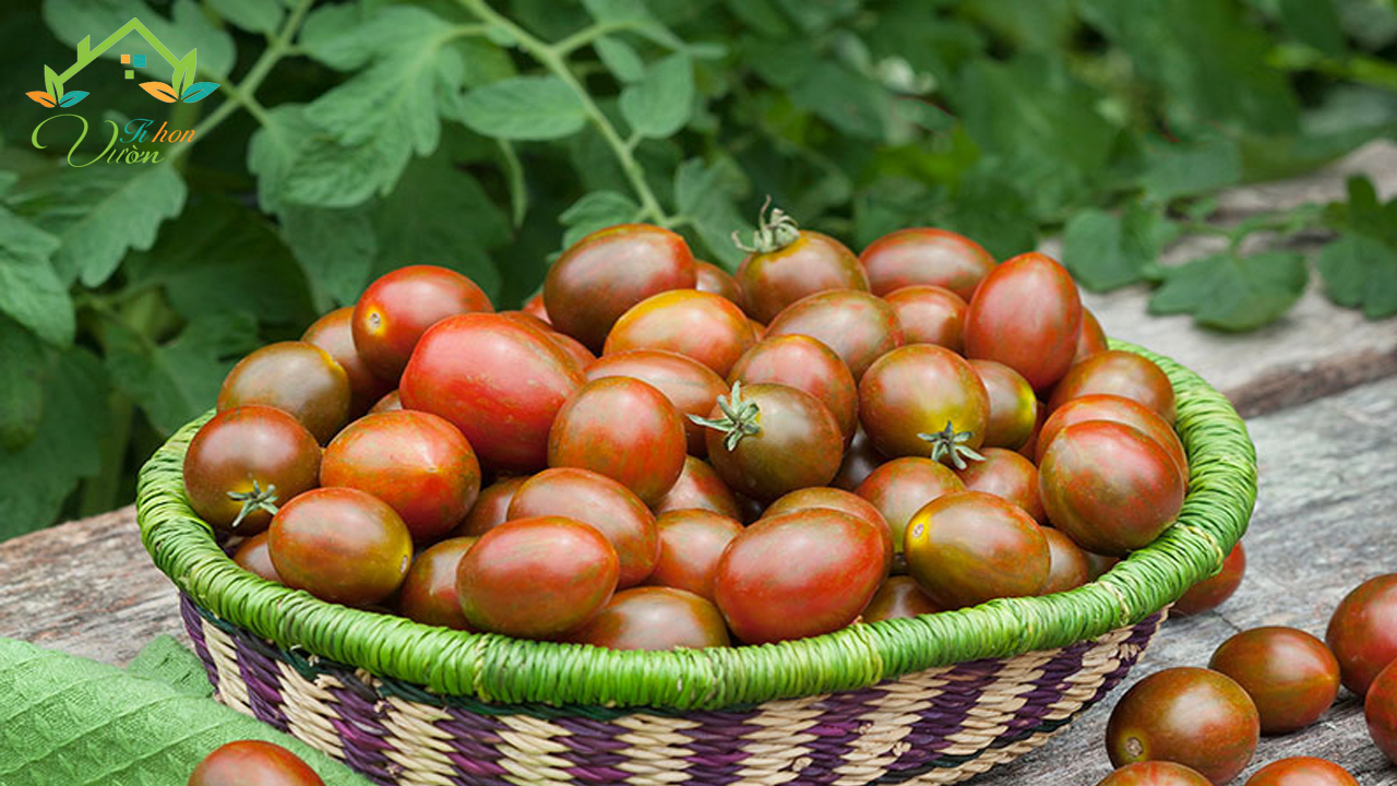 Cà chua socola
