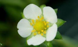 Thỏa sức ngắm nhìn loài hoa Dâu tây bé nhỏ